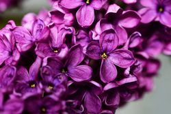 Lilac plants from Lubera