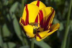 Blumenzwiebeln für Bienen Insekten Lubera