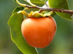 Buy persimmon trees at the Lubera garden shop