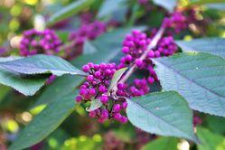 Beautyberry Callicarpa Lubera