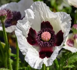Oriental Poppy Papaver Orientale in the Lubera Garden Shop