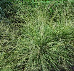 buying molinia grass