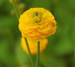 Buttercup plant