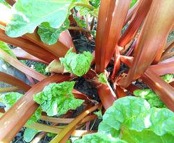Rhabarber-Pflanzen kaufen Lubera