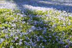 Blaustern (Scilla)