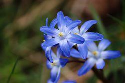 Sternhyazinthen Chionodoxa Schneestolz Frühlingszwiebeln Lubera