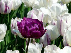 Gefüllte Tulpen Frühlingsblumen Lubera