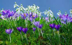 Early Flowering Bulbs