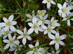 Ornithogalum Star-of-Bethlehem flower Lubera