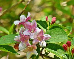 Blütensträucher kaufen