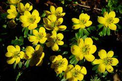 Winterlinge kaufen Frühlingsblüher Lubera