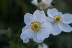 Anemone x japonica 'Andrea Atkinson'