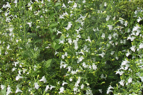 Calamintha nepeta 'Weißer Riese'