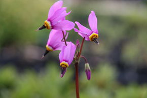 Dodecatheon meadia