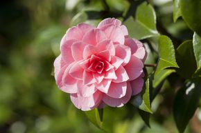 Camellia japonica 'Mrs. Tingley'