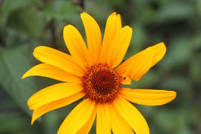 Heliopsis helianthoides scabra 'Summer Nights'