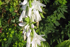 Hosta x plantaginea 'Royal Standard'