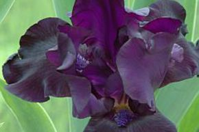 Iris x barbata elatior 'Black Dragon'