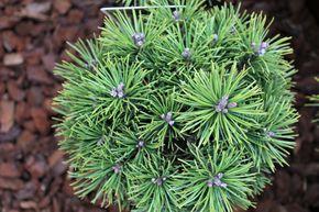 Kiefer Kaufen Pinus Als Baum Oder Zwergstrauch In Grosser Auswahl