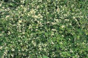 Bodendecker Set 100 Samen Trittfeste Immergrune Hangpflanzen