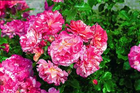 Rose Alfred Sisley® (im grossen Container)