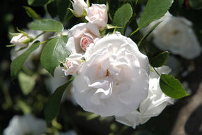 Rose 'Aspirin-Rose'® - Bodendeckerrose