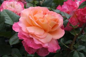 Kr/äftig entwickelte Pflanze im 6lt-Topf Edelrose Terracotta/®