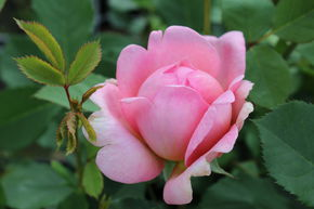 Rose Boscobel (im grossen Container)