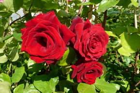 Rose 'Messire Delbard'® (im grossen Container)