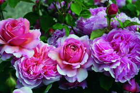 Rose Princess Alexandra of Kent® (im grossen Container)