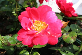 Rose 'The Fairy Red® - Bodendeckerrose