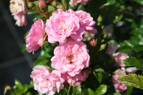 Rose 'The Fairy' - Bodendeckerrose