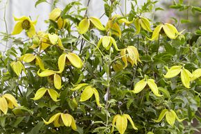 Clematis, Waldrebe 'Little Lemons'