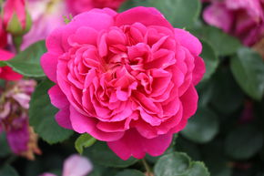 Rose Princess Anne (im grossen Container)