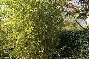 Phyllostachys Bambus Mit Auslaufer