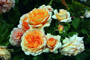 Strauchrose Crown Princess Margareta®