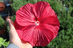 Staudenhibiskus Kaufen Das Blütenwunder In Xxl