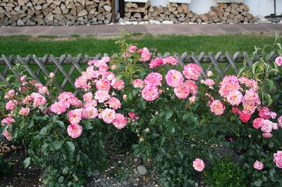Rosen Pflanzen Eine Anleitung Mit Allem Was Sie Wissen Müssen