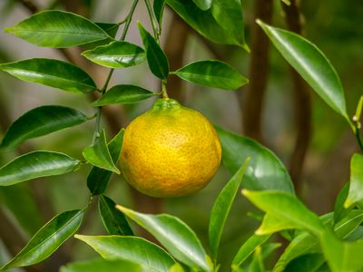 der wunderschöne Mandarinenbaum liefert leckere Früchte ! für drinnen