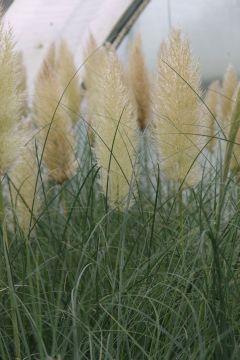 beet mit pampasgras, cortaderia selloana 'evita' (s): lubera.de, Design ideen