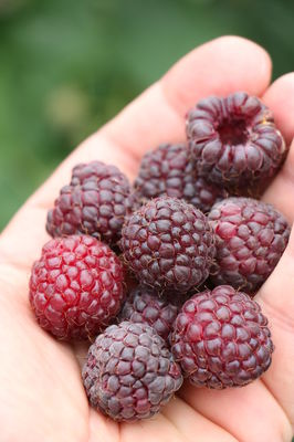 Herbsthimbeere Primeberry® Autumn Passon