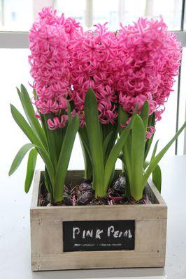 Hyacinth Pink Pearl (Hyacinthus Pink Pearl) Lubera
