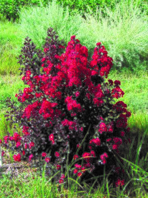 Lagerstroemia indica 'Double Dynamite'