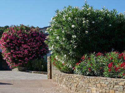 wann oleander schneiden