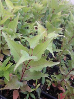 Atemberaubend Pfirsichkern pflanzen - wie geht das und was wächst da heran? &HC_98