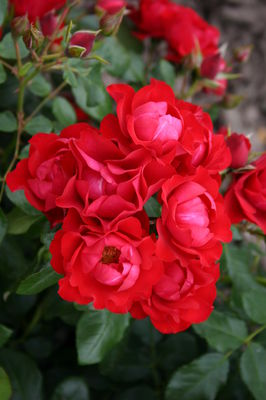 Black Forest Rose® (im grossen Container)