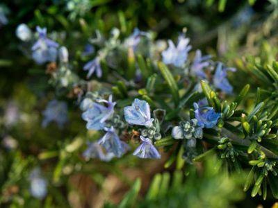 Mediterrane Krauter Pflanzen Sorten Pflege Winterharte