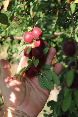 Robustikosen Campanere (Prunus x dasycarpa)