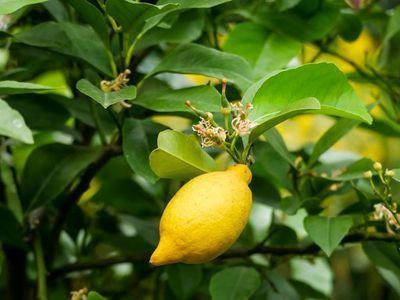 Den Zitronenbaum überwintern im Wohnzimmer - so kann es funktionieren