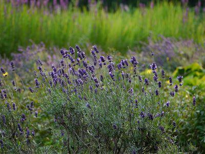 Schopflavendel violett Eine Bienen und Schmetterlingsmagnet